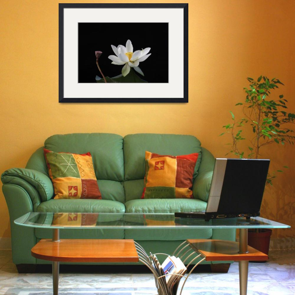 """""""White Water Lilly on Black Background&quot  (2010) by faf1967"""
