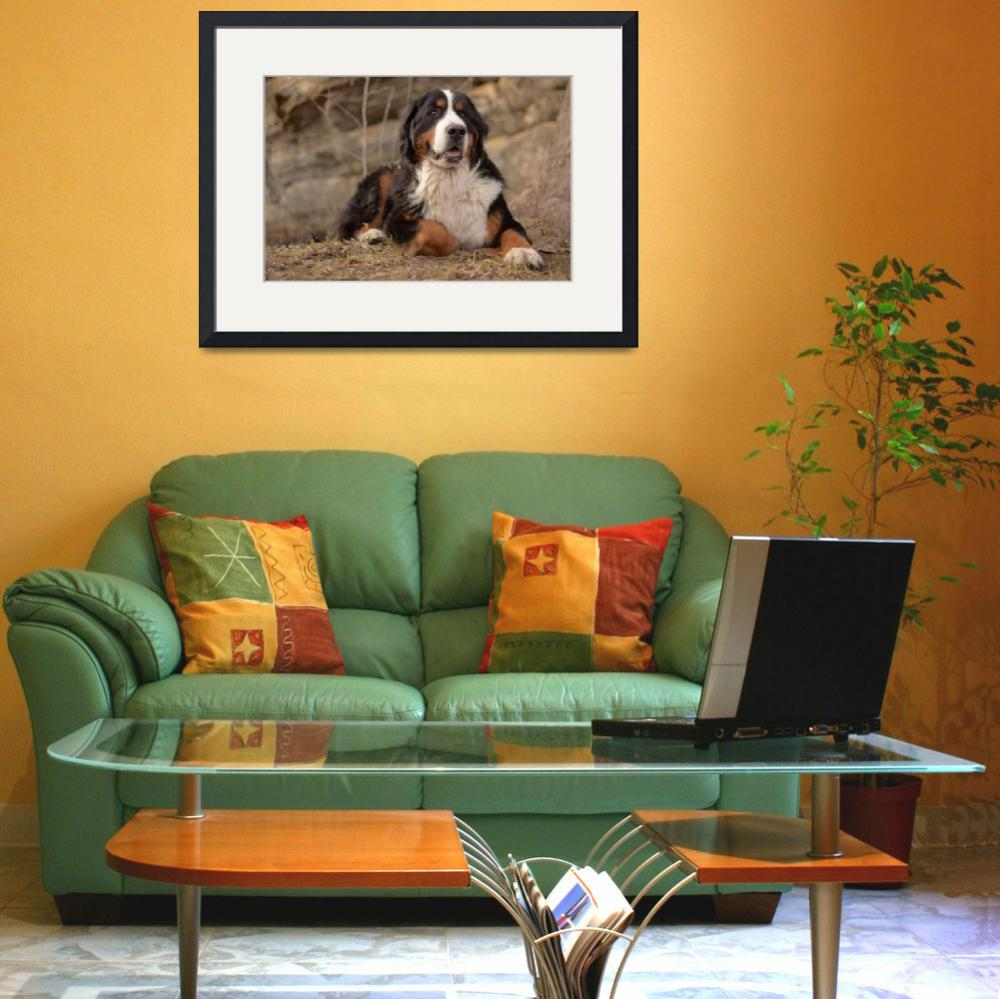 """Bernese Mountain Dog&quot  (2011) by FotoFlaunt"