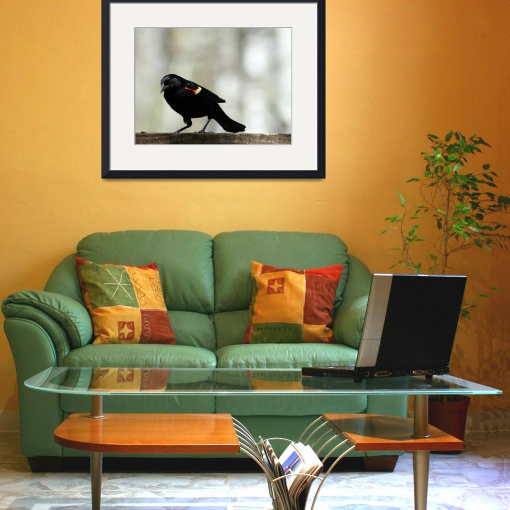 """""""Red Winged Blackbird Collecting Seeds&quot  (2012) by rhamm"""