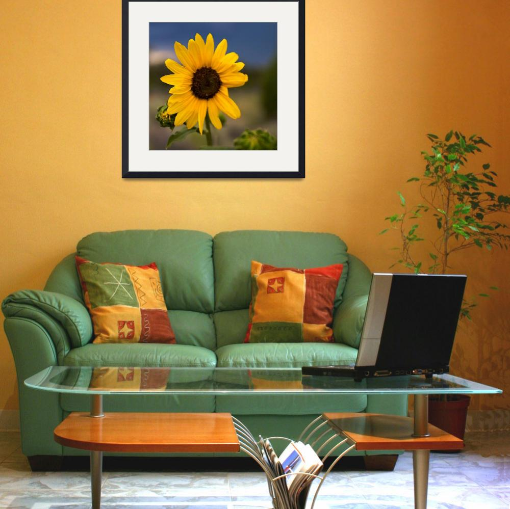 """""""Sunflower in New Mexico&quot  (2008) by NjordPhotography"""