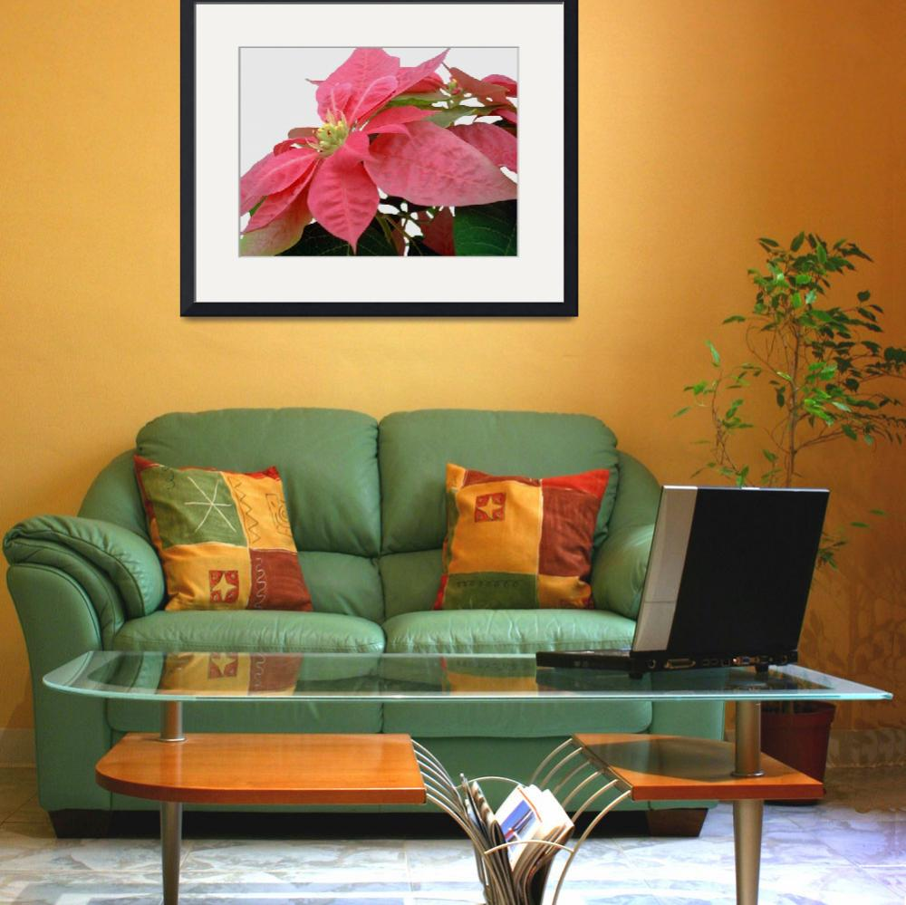 """Pink Poinsettia&quot  by ChristopherInMexico"