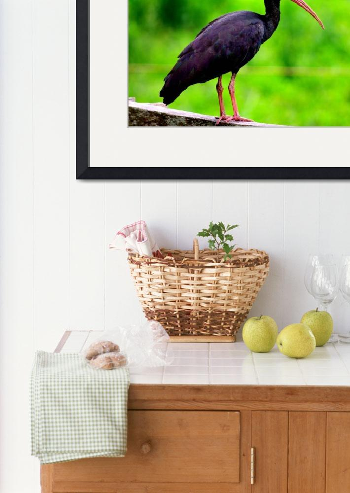 """""""Black ibis of Colombia&quot  (2016) by DanSteeves"""