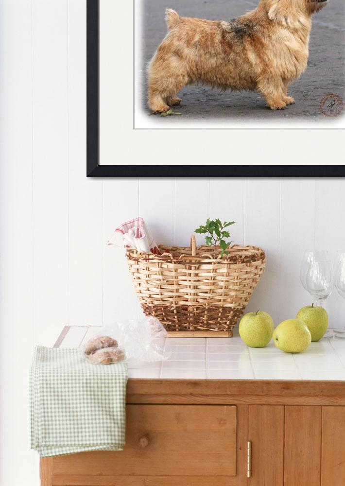 """Norwich Terrier 9Y432D-004&quot  by Traffordphotos"