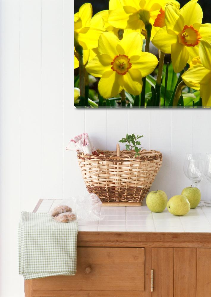 """""""yellow daffodil""""  by PilgrimHill"""