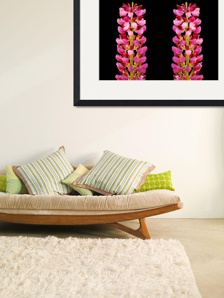 """""""Close up of pink lupins&quot  (2010) by Paul_Rumsey"""