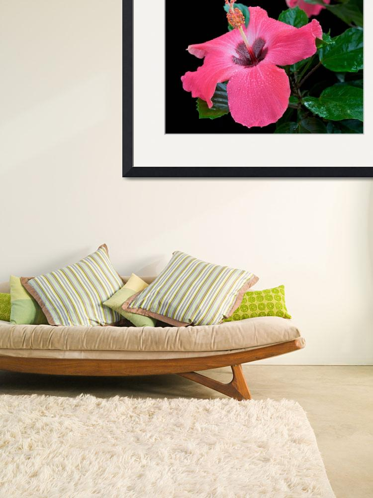 """""""Pink Hibiscus&quot  (2010) by ImageArt-Photography"""
