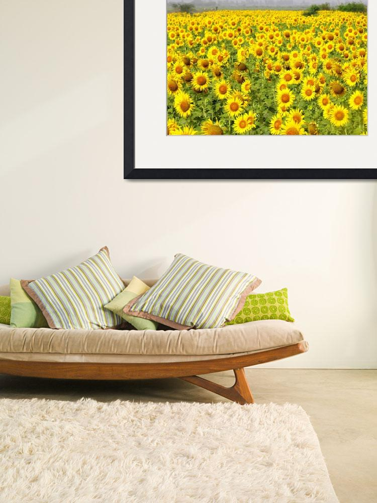 """""""Field of Sunflowers - sindh sunfowers18&quot  (2008) by davies"""