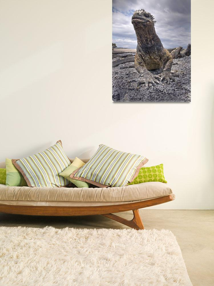 """""""Marine Iguana from Ground Level&quot  (2010) by SederquistPhotography"""