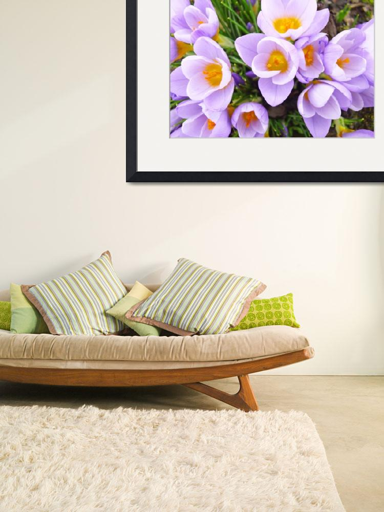 """Spring Crocus Flowers Art Prints Floral Gardens&quot  (2014) by BasleeTroutman"