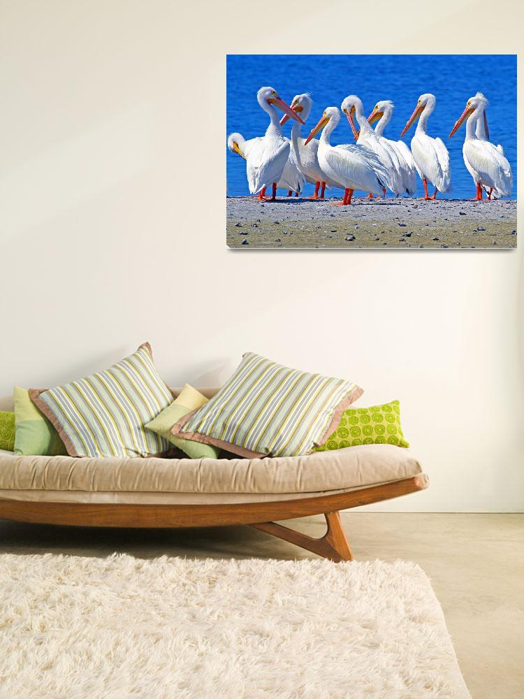 """American White Pelicans""  (2011) by shelshots"