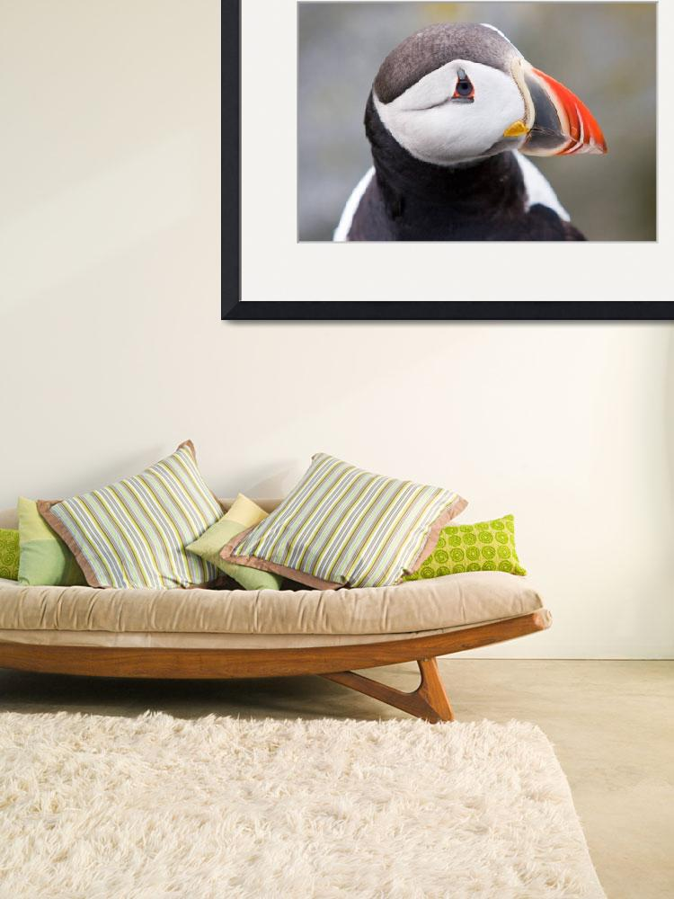 """""""Atlantic Puffins 2&quot  by cary"""
