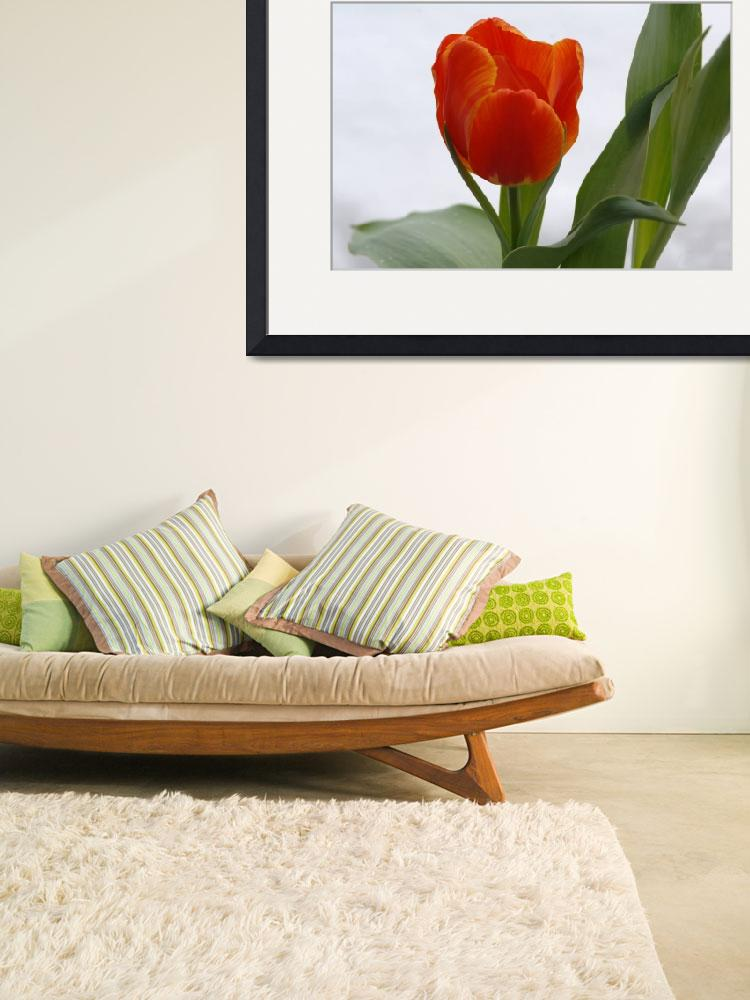 """""""Red Tulips&quot  (2009) by staplesphoto"""