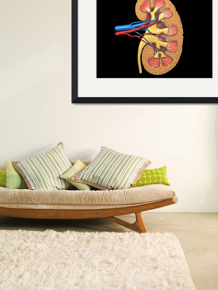 """Cross section of human kidney on black background&quot  by stocktrekimages"