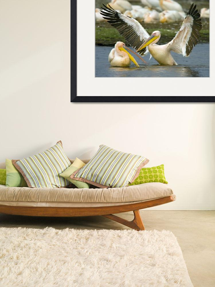 """""""Two Great white pelicans wading in a lake&quot  by Panoramic_Images"""