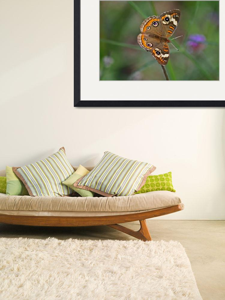 """Butterfly  Buckeye with Green background""  (2011) by KsWorldArt"