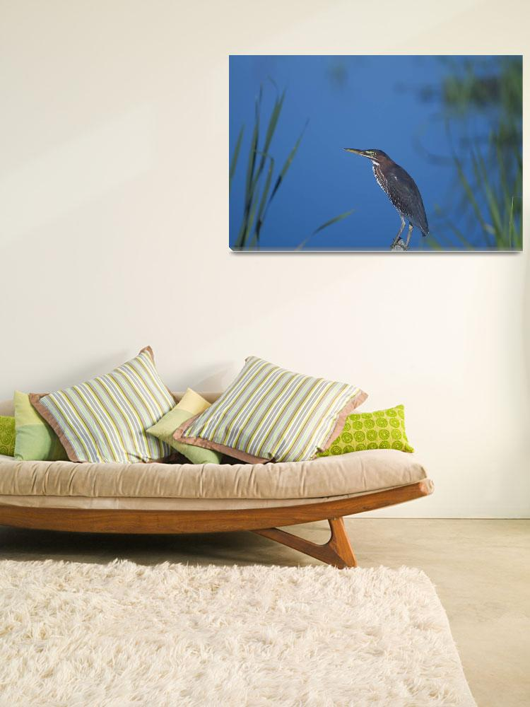 """Green Heron Poses&quot  (2003) by PaulDRobertson"