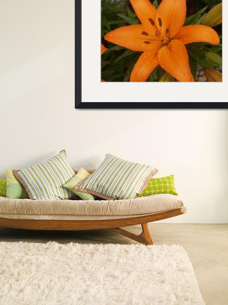 """""""Asiatic Lily"""