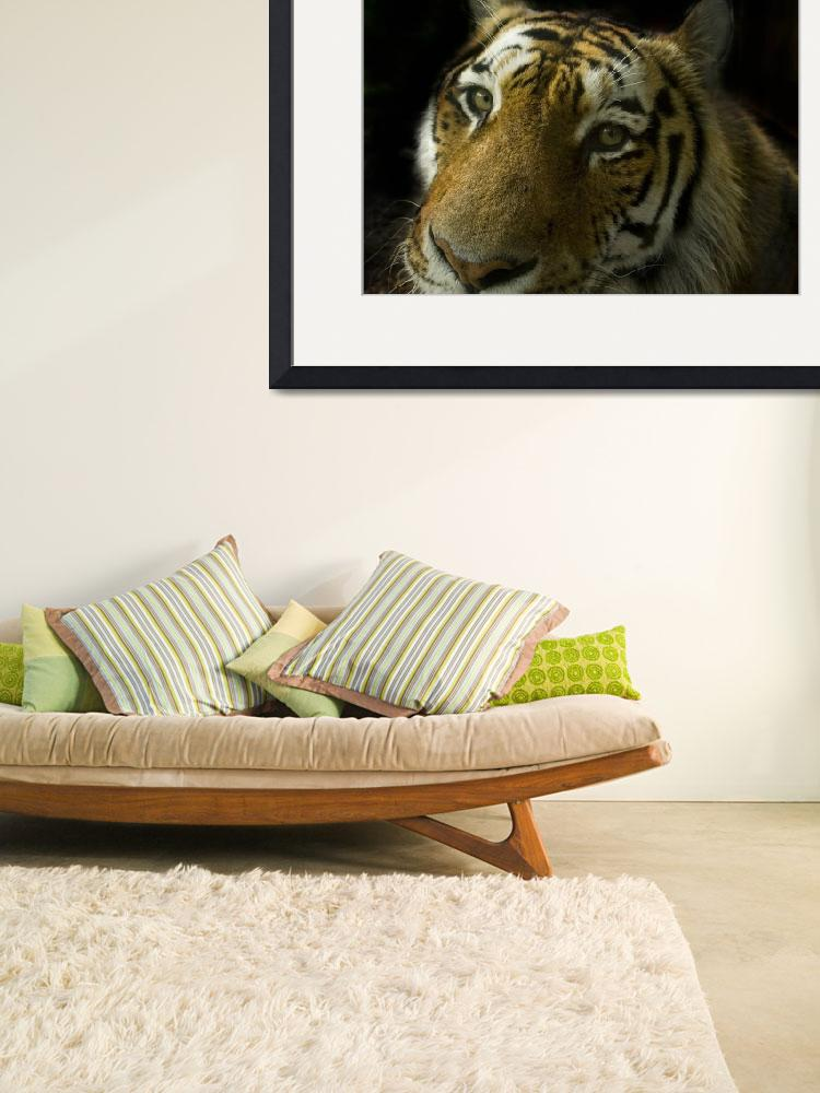 """""""ANIMAL tiger cat mamal_009&quot  by BrianDunne"""