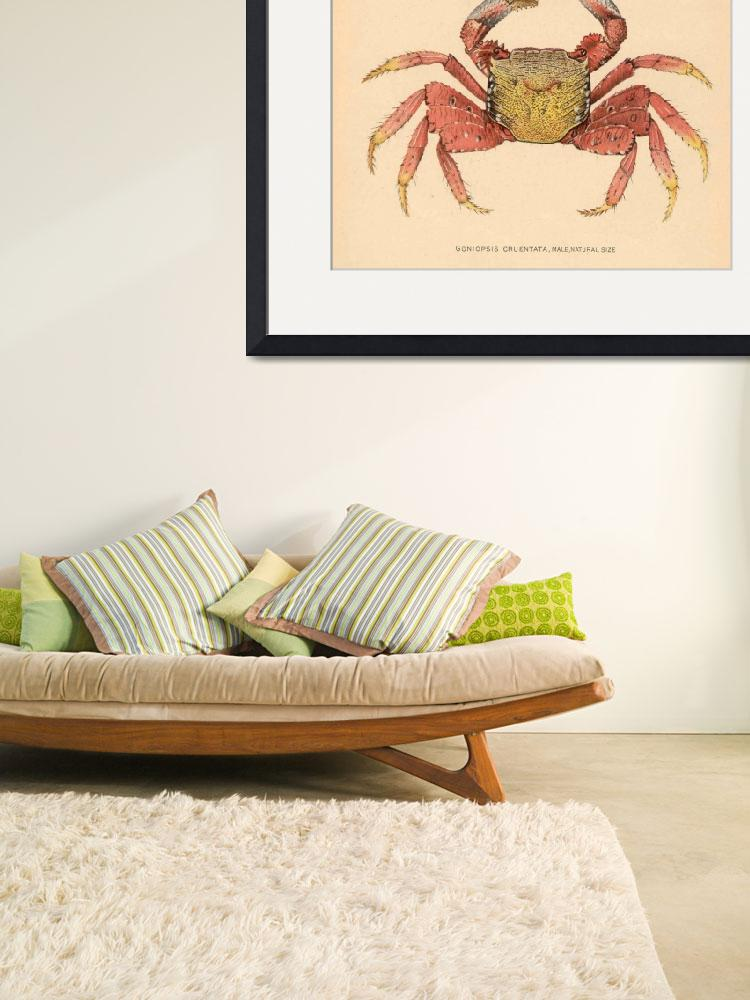 """Vintage Mangrove Root Crab Illustration (1902)&quot  by Alleycatshirts"