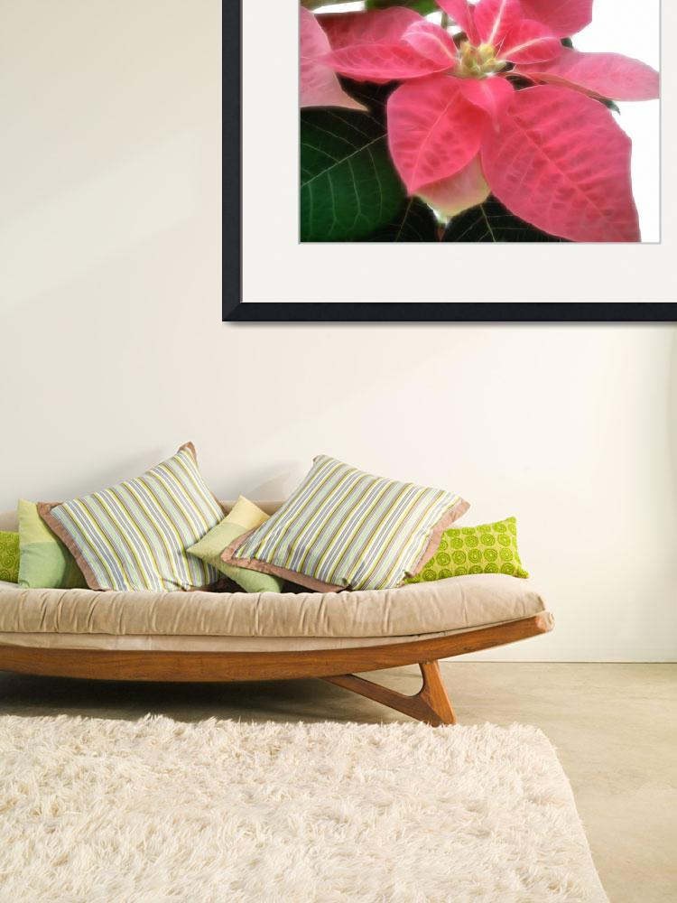 """Pink Poinsettia 2&quot  (2007) by ChristopherInMexico"