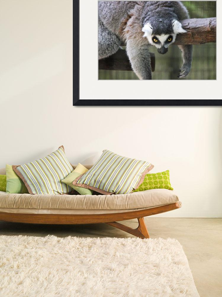 """""""Ring-Tailed Lemur&quot  (2012) by kFergPhotos"""