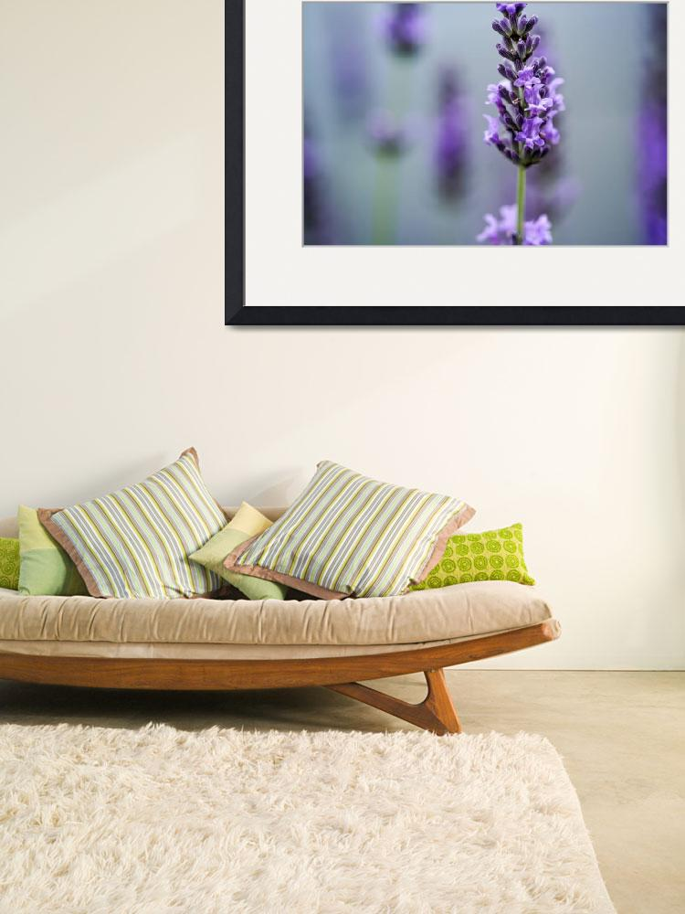 """""""Beautiful Lavender blooming in early summer&quot  by nailiaschwarz"""