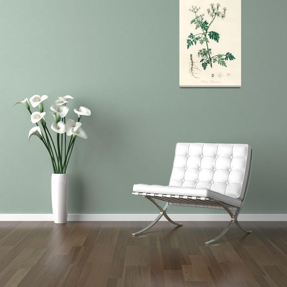"""Vintage Botanical Poison parsley&quot  by FineArtClassics"