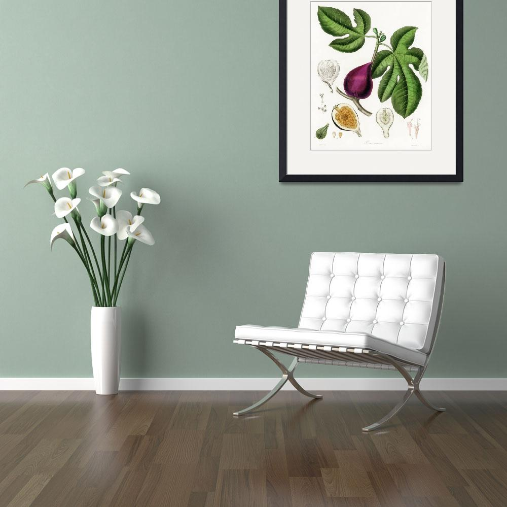 """""""Vintage Botanical Fig&quot  by FineArtClassics"""