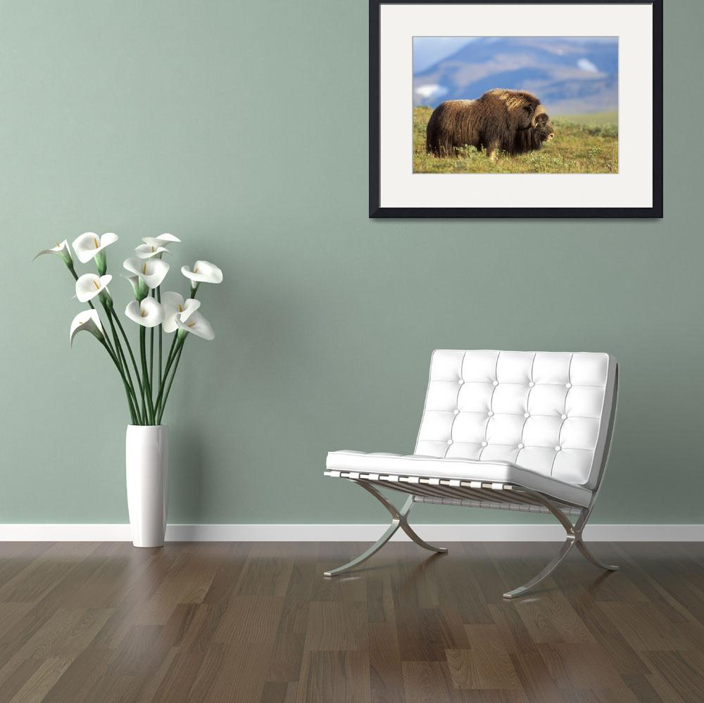 """""""Musk ox bull standing on tundra in late summer on&quot  by DesignPics"""