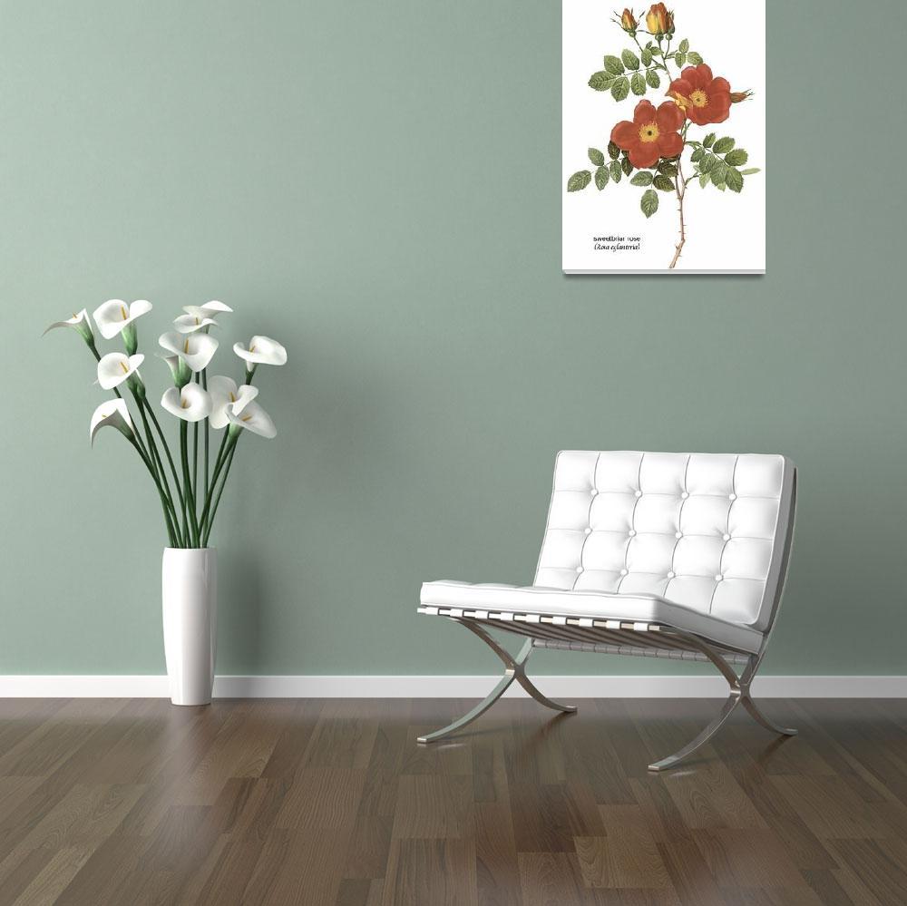 """Sweetbriar Rose (Rosa Eglanteria) Botanical Art&quot  by ArtLoversOnline"