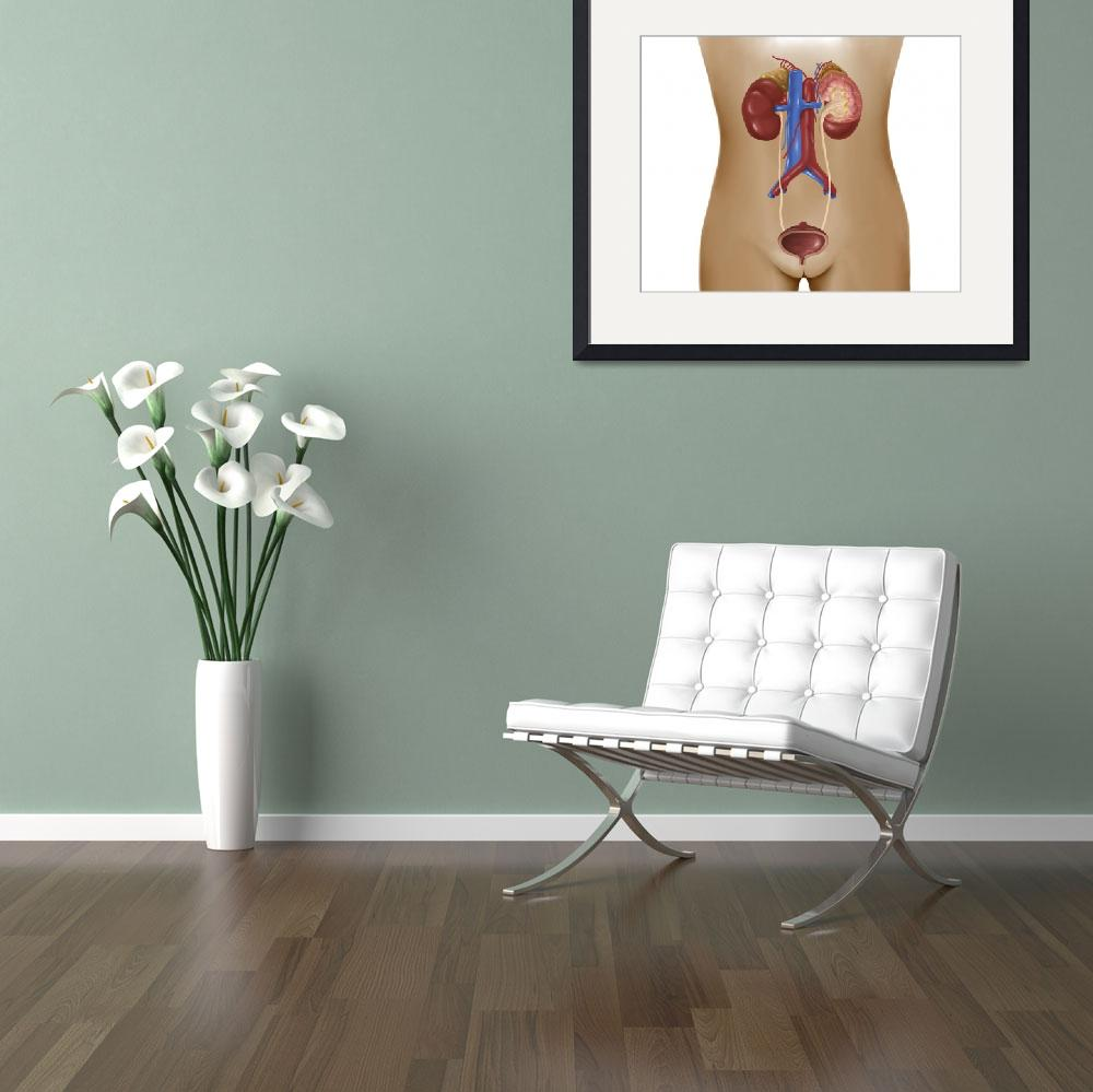 """""""Anatomy of female urinary system&quot  by stocktrekimages"""