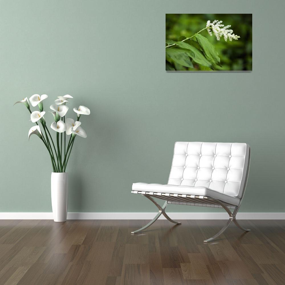 """False solomon‰Ûªs seal flower (Smilacina racemosa&quot  by Panoramic_Images"