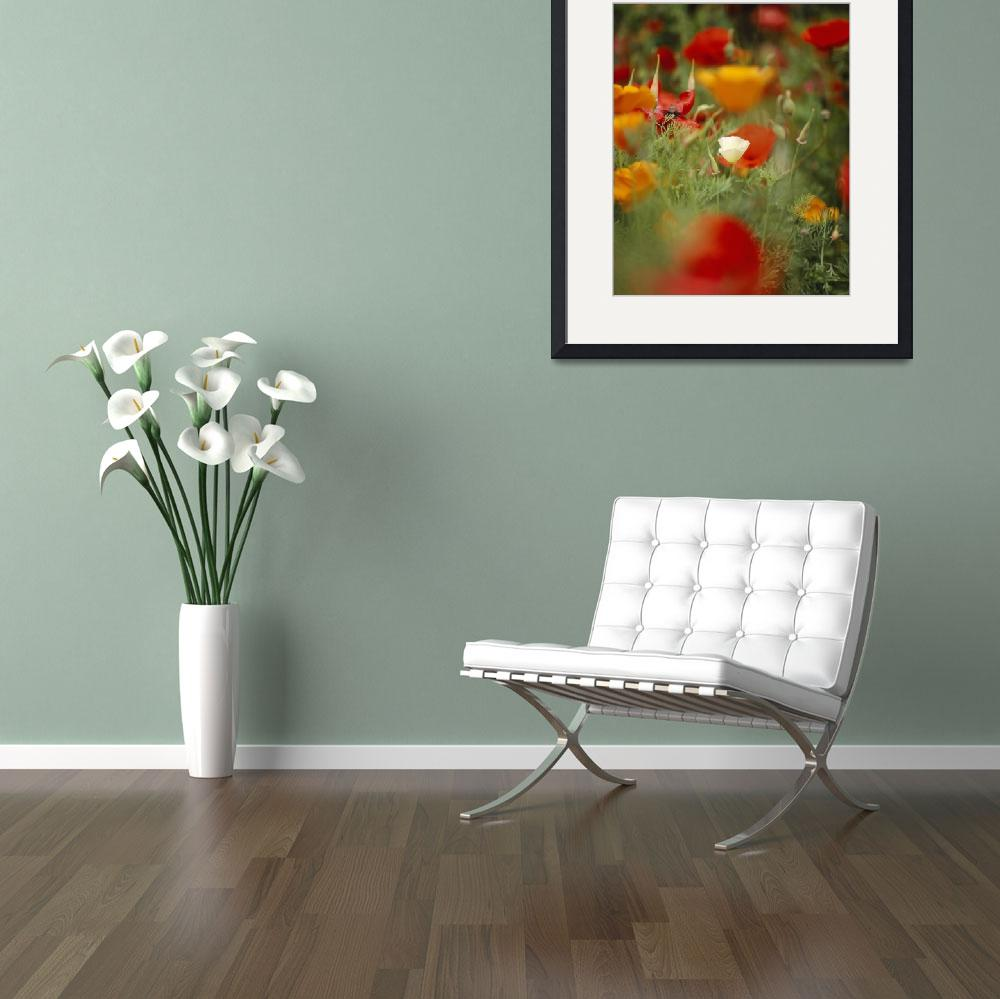 """""""""""California Golden Poppies (Eschscholzia californi&quot  by Panoramic_Images"""