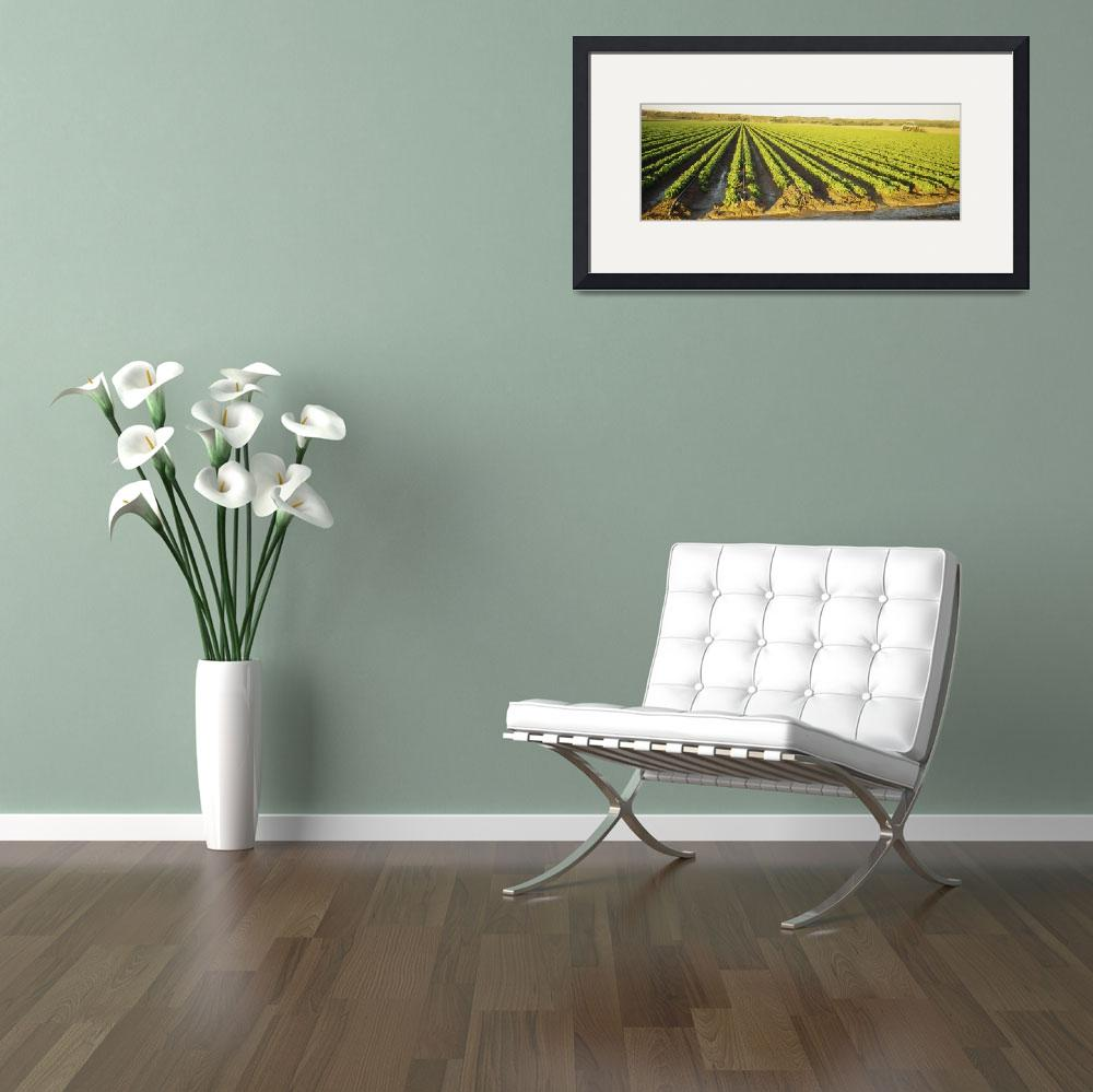 """""""High angle view of a field of kale rows&quot  by Panoramic_Images"""
