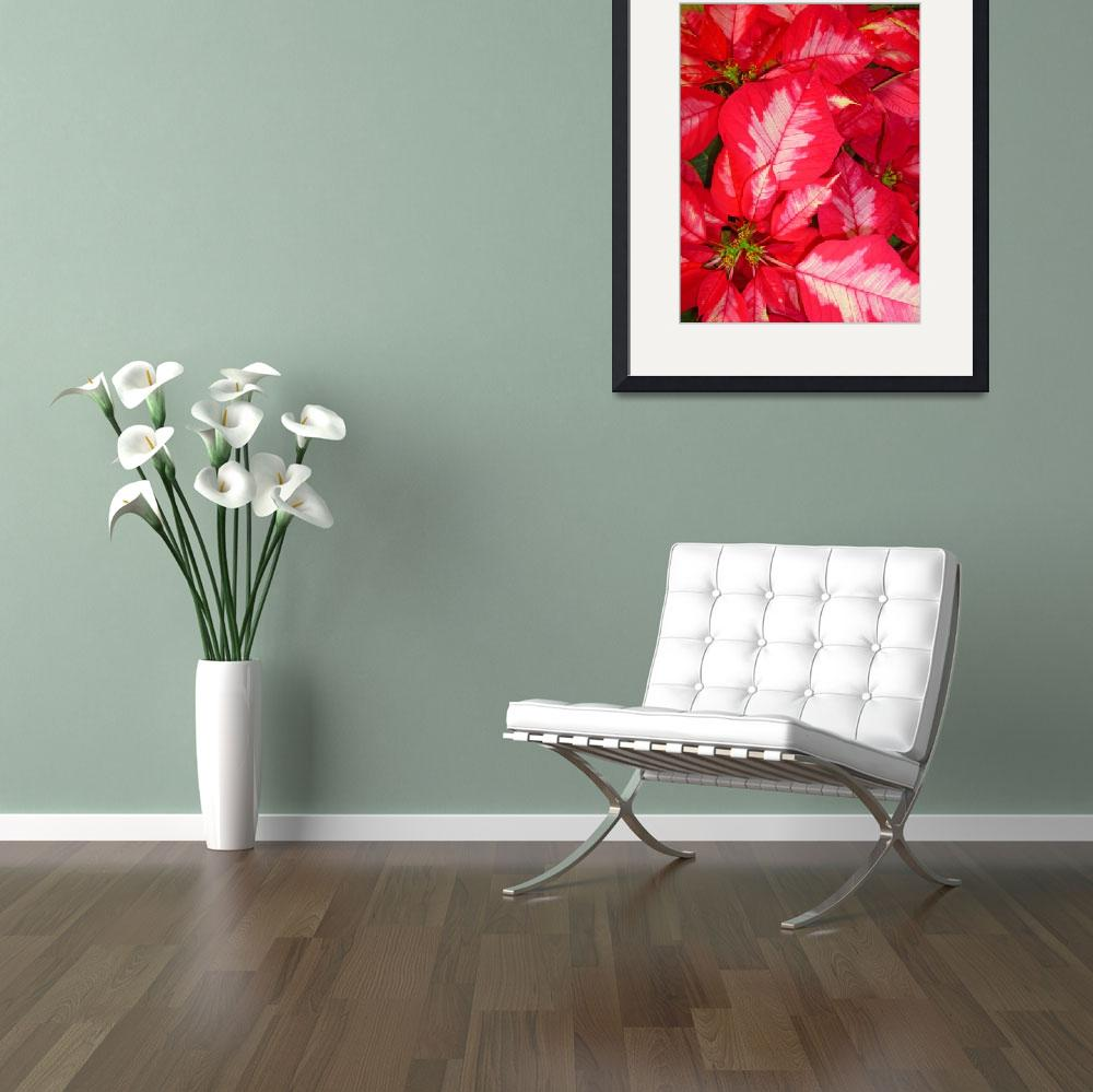 """""""Pink Poinsettias&quot  (2012) by joeyartist"""
