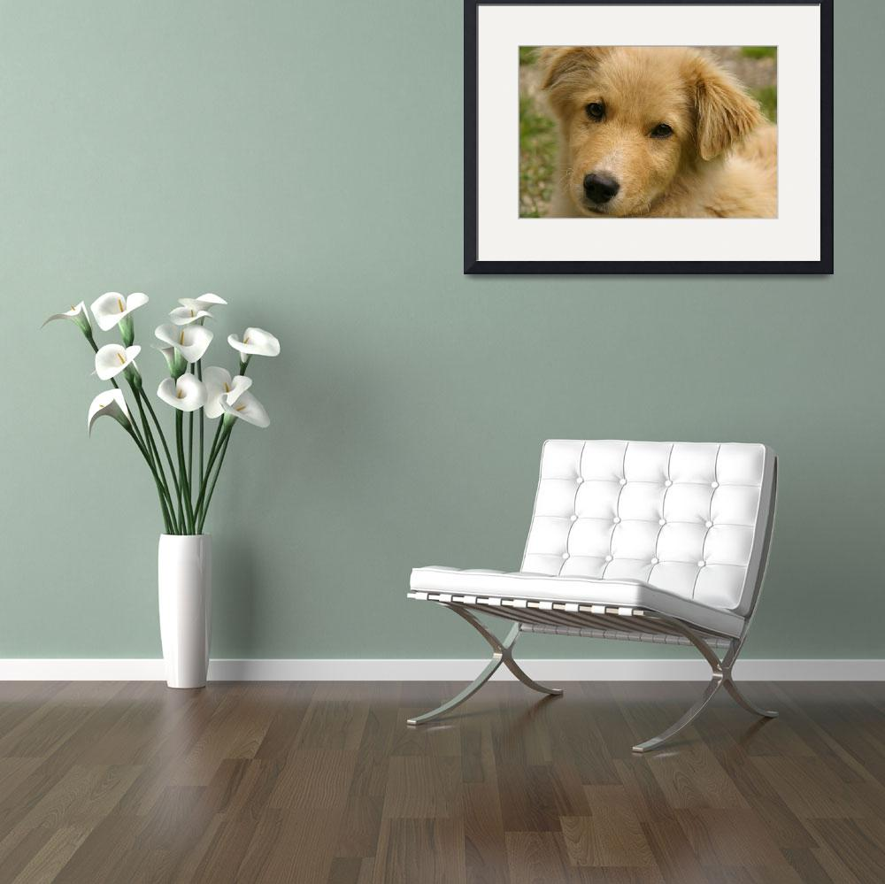 """Golden Retriever Puppy""  (2012) by tracilawphotography"
