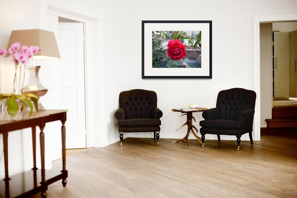 """""""Beautiful red rose in a small garden&quot  by scenicphotos"""