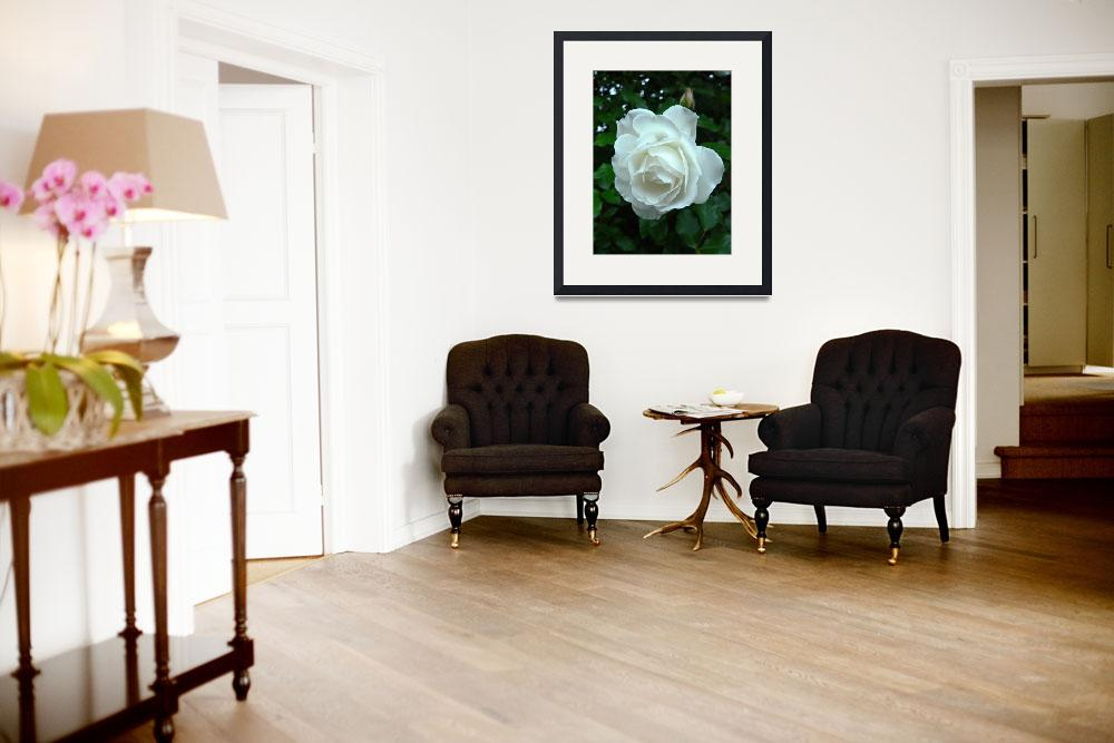 """""""White rose&quot  by corinnea"""