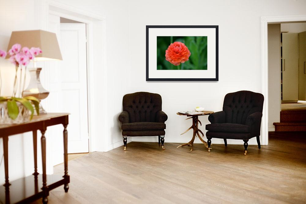 """""""Coral Ranunculus&quot  by BlackwaterDesignNC"""