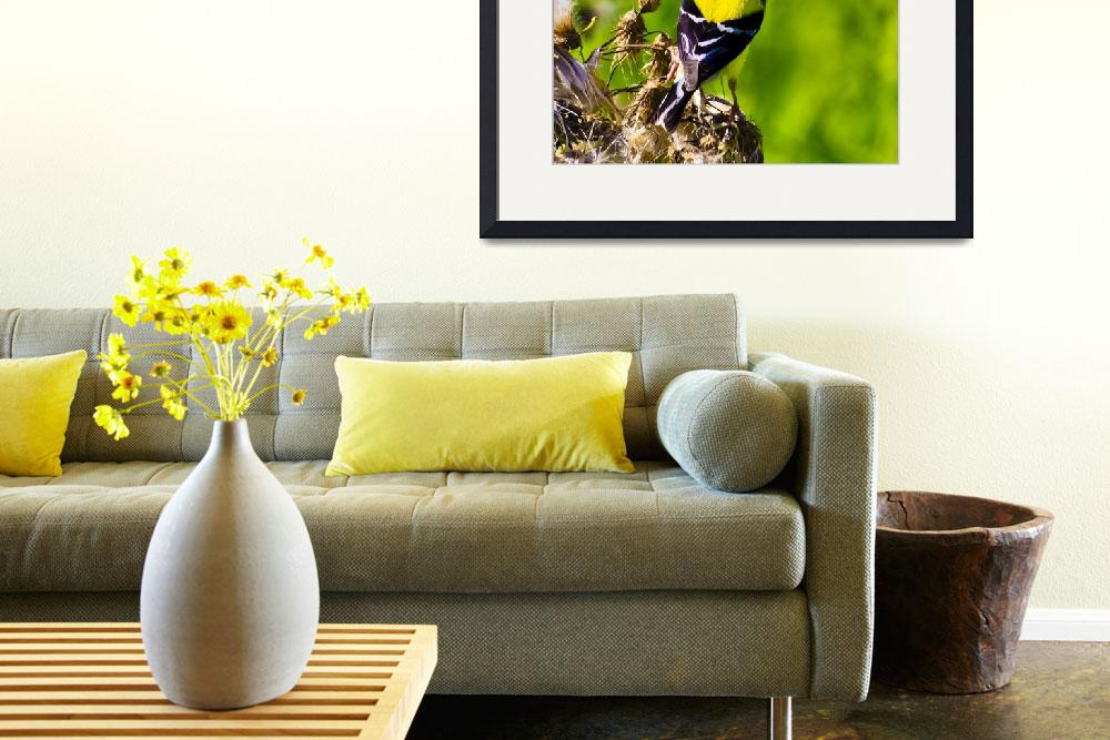 """American Goldfinch&quot  by ROBERTSCOTTPHOTOGRAPHYY"