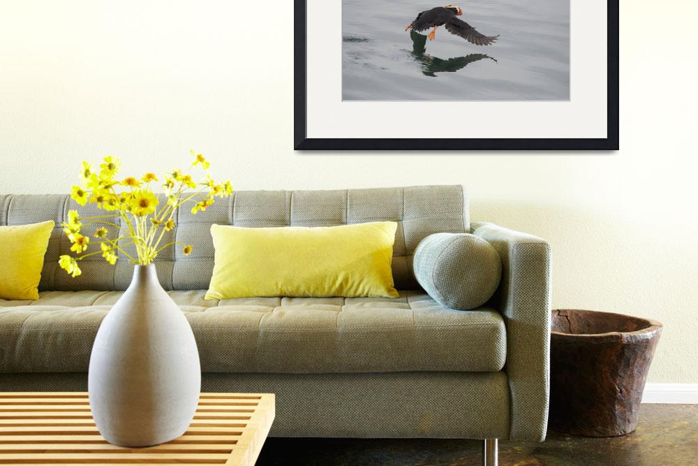 """""""Tufted Puffin Flying, Marble Islands, Glacier Bay,""""  (2018) by SederquistPhotography"""