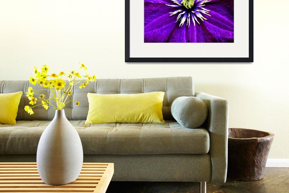"""""""Purple Clematis""""  by ROBERTSCOTTPHOTOGRAPHYY"""