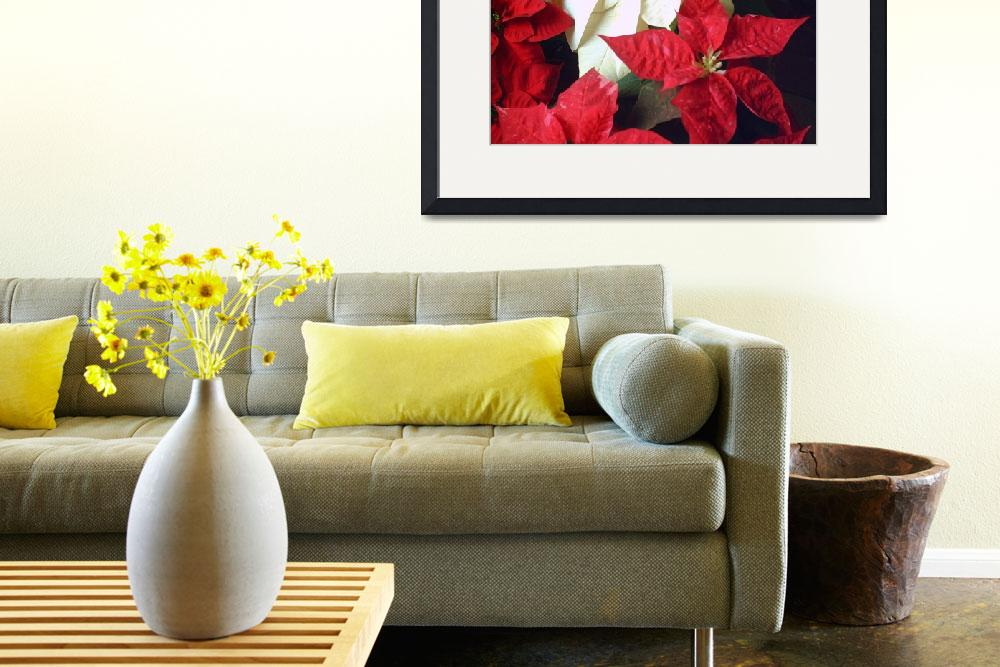 """""""Mixed color Poinsettias 2&quot  (2007) by ChristopherInMexico"""