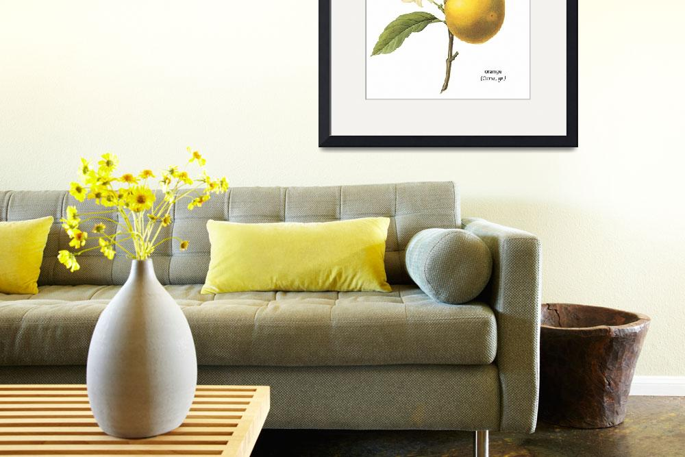 """Orange (Citrus sp.)  Botanical Art&quot  by ArtLoversOnline"