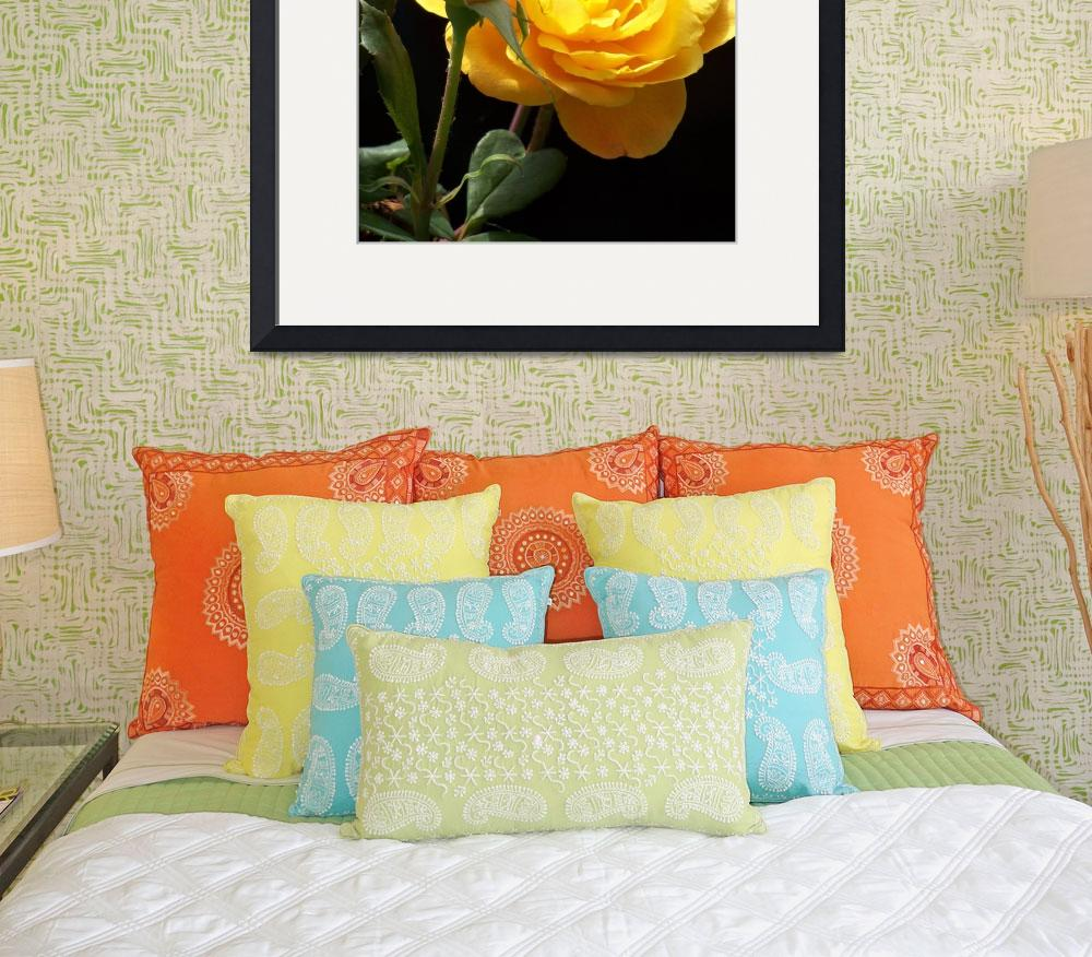 """Large Yellow Rose&quot  (2011) by PurpleSkyPhoto"