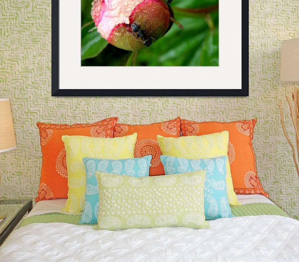"""""""Peony with Ants&quot  (2008) by steveallatphoto"""