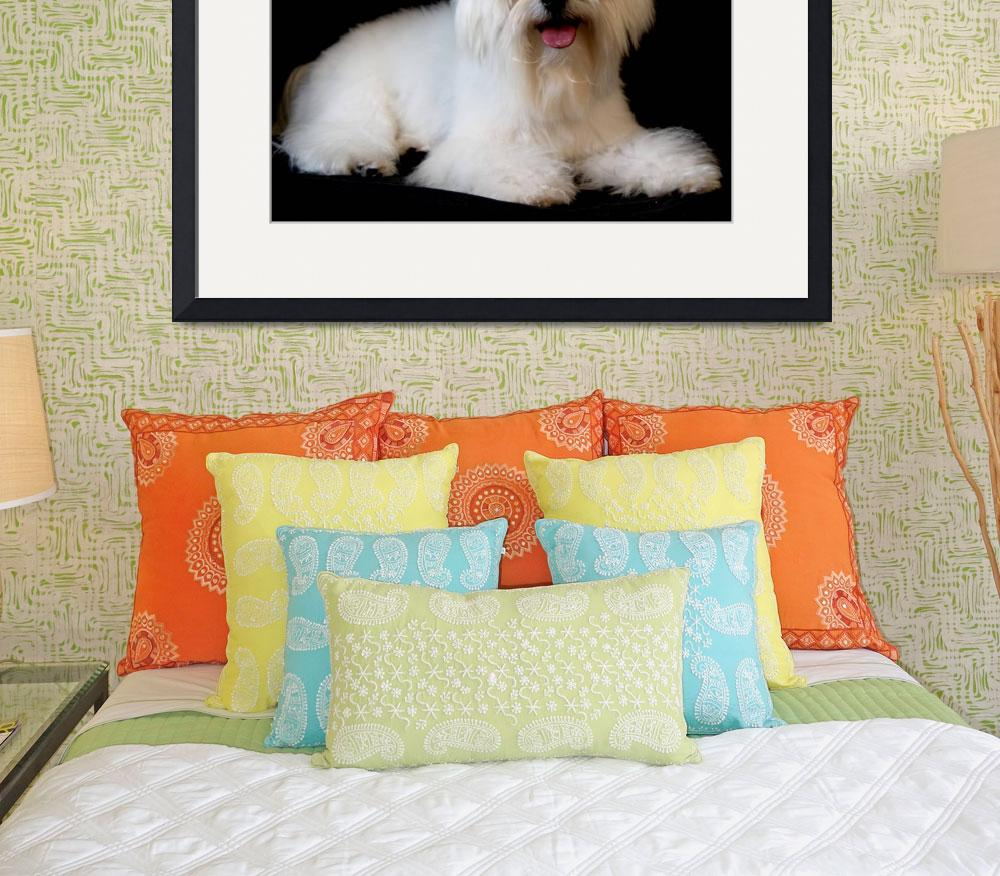 """""""Happy Maltese&quot  (2009) by MNTPhoto"""