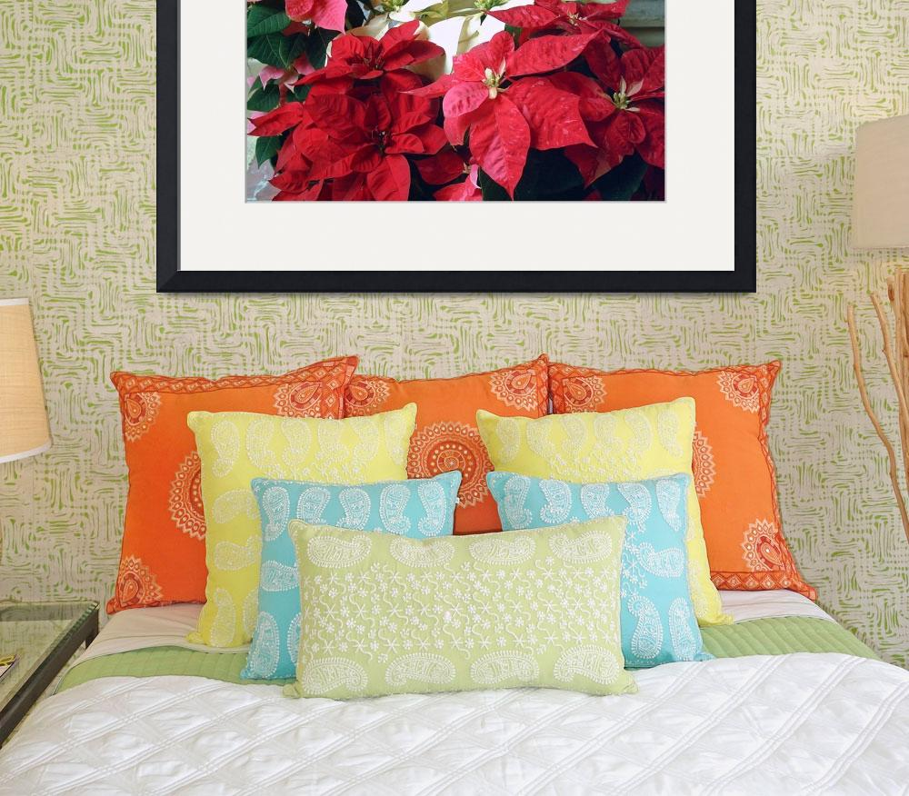 """""""Mixed color Poinsettias 3&quot  (2007) by ChristopherInMexico"""