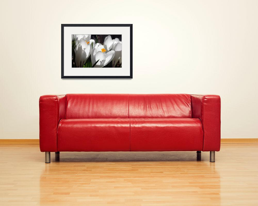 """White Crocus""  (2011) by CTsnapshot"