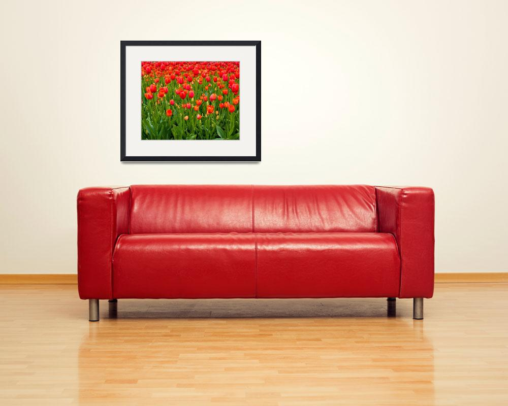 """Red Tulips""  (2010) by shanemonahanphotography"